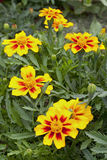 Tagetes flowers. With buds growing outdoors stock image