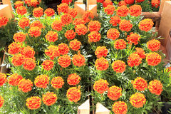 Tagetes flowers Stock Images