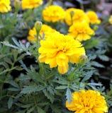 Tagetes flowers Stock Image