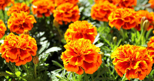 Tagetes flowers Stock Photography