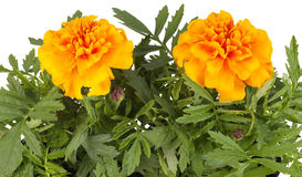Tagetes flowers closeup. Orange flower Royalty Free Stock Photos