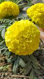 Tagetes flowers. Cute yellow flower Stock Photography