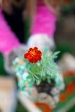 Tagetes flowers Erebta et Patula Royalty Free Stock Photo