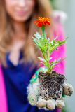 Tagetes flowers Erebta et Patula Royalty Free Stock Photography
