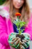 Tagetes flowers Erebta et Patula Royalty Free Stock Photos