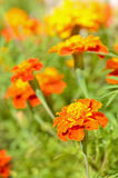 Tagetes flowers in garden. Close up view Stock Image