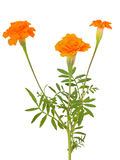 Tagetes flowers. Isolated on white background Stock Photos