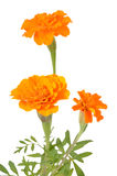 Tagetes flowers isolated on white background Royalty Free Stock Photography