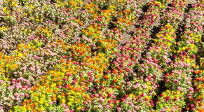 Tagetes garden in spring season. Tagetes colored field, cultivated during spring season royalty free stock images