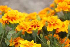 Tagetes in the garden. Yellow flowers stock photos