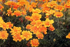Tagetes in the garden. Yellow flowers stock photo
