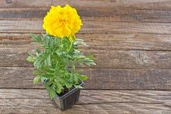Tagetes gele bloem in pot op houten achtergrond stock afbeelding