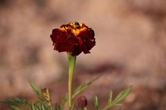 Marigold dark with shades, buds and leaves stock photography
