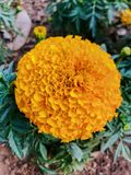 Marigold / Tagetes is a genus of annual or perennial, mostly herbaceous plants in the sunflower family & x28;Asteraceae& x29;. Stock Photo