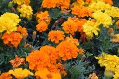 Tagetes - Goudsbloemen - Bloemen - Aard stock foto