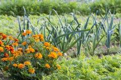 Tagetes i organisk grönsakträdgård arkivfoto