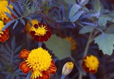 Tagetes i sommarträdgård Apelsinen blommar ringblommor Arkivbilder