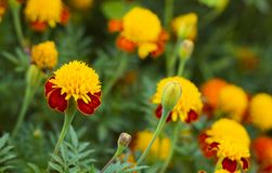 Tagetes i sommarträdgård Guling blommar ringblommor Royaltyfria Bilder