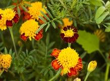 Tagetes i sommarträdgård Guling blommar ringblommor Royaltyfri Fotografi