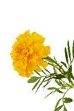 Tagetes isolated. Marigold flower isolated on white, Latin name Tagetes Stock Photo