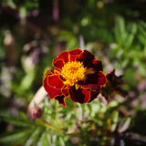 Tagetes kwiat Zdjęcia Stock