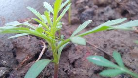 Tagetes leafs. Leafs of tagetes flower baby leafs green in the flower pot Stock Image