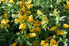 Tagetes lucida. Flower. Also known as sweetscented marigold, Mexican marigold, Mexican mint marigold, Mexican tarragon, Spanish tarragon, sweet mace, Texas royalty free stock photos