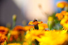 Tagetes Marigold Flower and Bee. Stock Photography