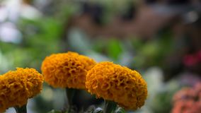 Tagetes marigold flower bloom royalty free stock photography
