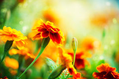 Tagetes Marigold Flowers. Tagetes Marigold Flower. Autumn Flowers Background stock photos