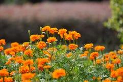 Tagetes Marigold Flowers. Tagetes Marigold Flower. Autumn Flowers Background Royalty Free Stock Photos