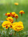 Tagetes (Marigold) flowers Stock Images