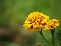 Tagetes (Marigold) flowers Royalty Free Stock Photo