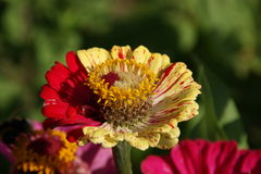 Tagetes (Marigold) Stock Images