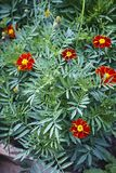 Tagetes marigold orange red blossom green plant bed Royalty Free Stock Photography