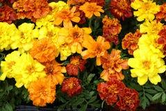 Tagetes. Marigold. Tagetes patula flowers. marigolds Stock Image