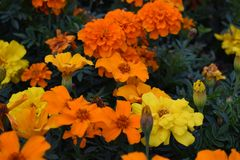 Tagetes - Marigolds - λουλούδια - φύση Στοκ φωτογραφία με δικαίωμα ελεύθερης χρήσης