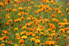 Tagetes marigolds flowers meadow. Meadow of tagetes marigolds flowers summer day stock photography