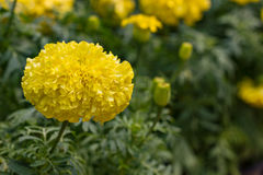 Tagetes Marigolds. Many yellow flower in garden royalty free stock image