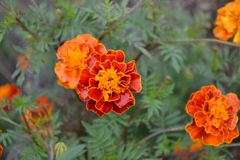 Free Tagetes. Marigolds. Tagetes Erecta. Summer Day. Flower Bed. Yellow Sunny Flowers Royalty Free Stock Image - 146496916