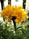 Tagetes naturels dans le jardin Image stock
