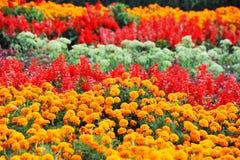 Tagetes och salvia i blomsterrabatt Royaltyfri Bild