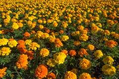 Tagetes oder buntes Blumenbeet der Ringelblume Lizenzfreie Stockfotos