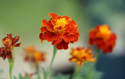 Tagetes. Orange flower,close cup Stock Photography