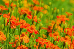 Tagetes Stock Photography