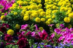 Tagetes, pétunia, atkinsiana de pétunia Images stock
