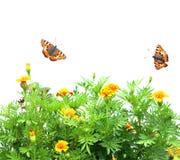 tagetes patula цветков butterflys Стоковые Фотографии RF