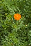 Tagetes patula, Stock Photos