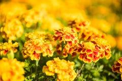 Tagetes Patula, abeja Fotografía de archivo