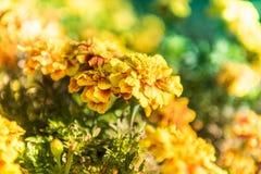 Tagetes Patula, abeja Imágenes de archivo libres de regalías